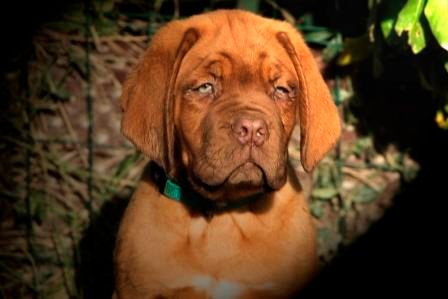 De Privadiis - Chiot disponible  - Dogue de Bordeaux
