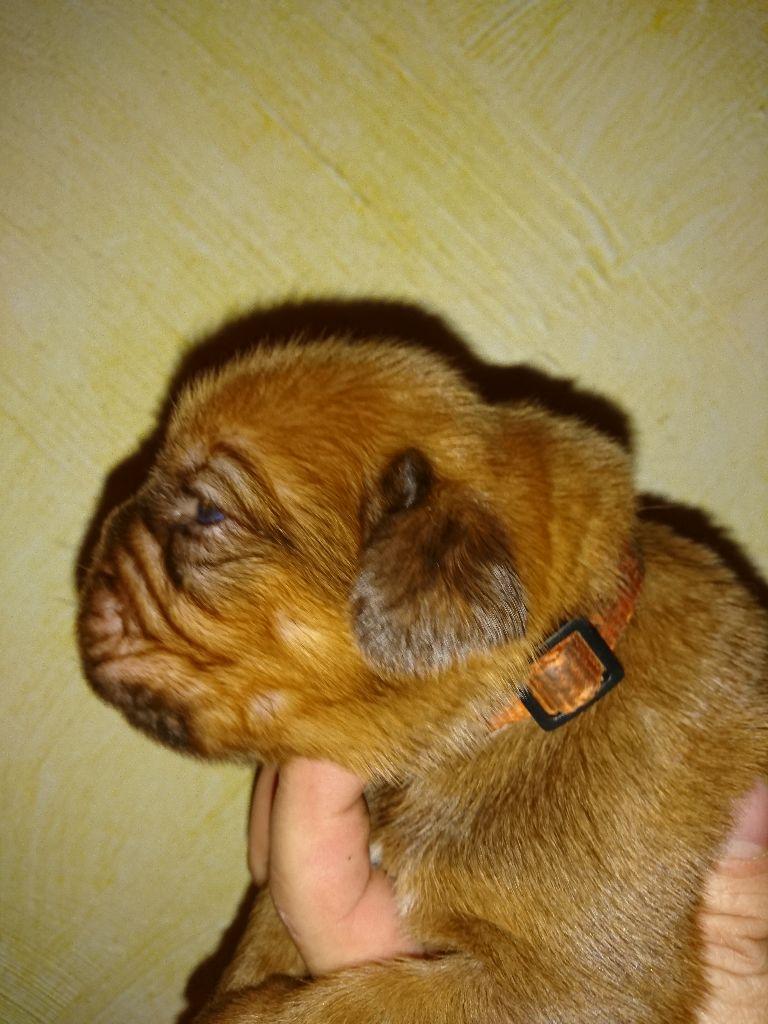 De Privadiis - Chiot disponible  - Dogue de Bordeaux