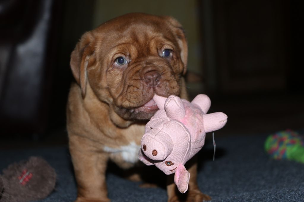 chiot Dogue de Bordeaux De Privadiis