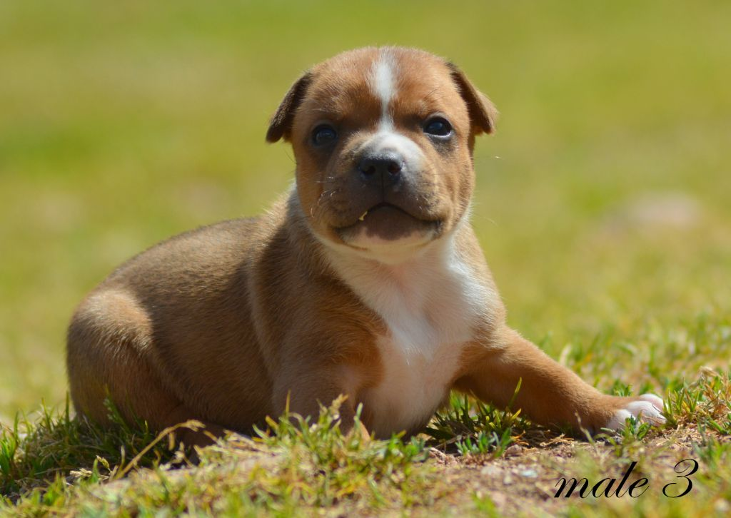male 3 - Staffordshire Bull Terrier