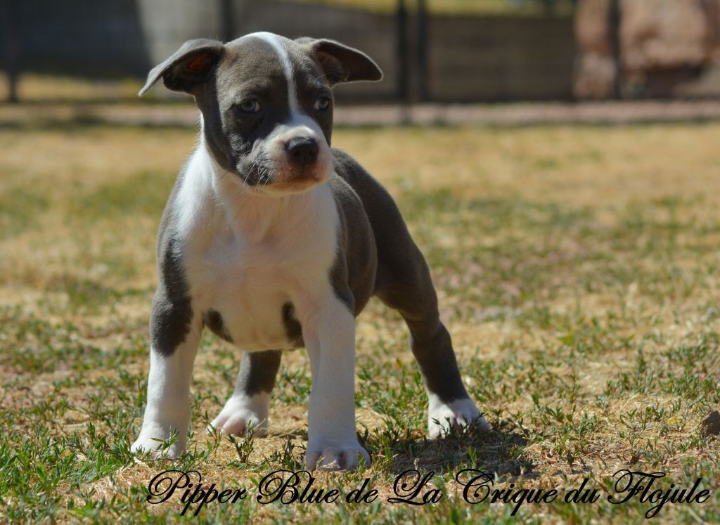 Pipper Blue  - American Staffordshire Terrier