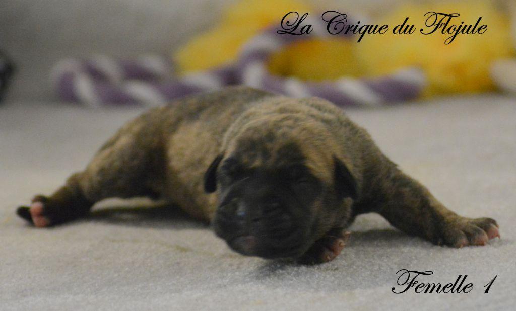 De la crique du Flojule - Chiot disponible  - Dogo Canario