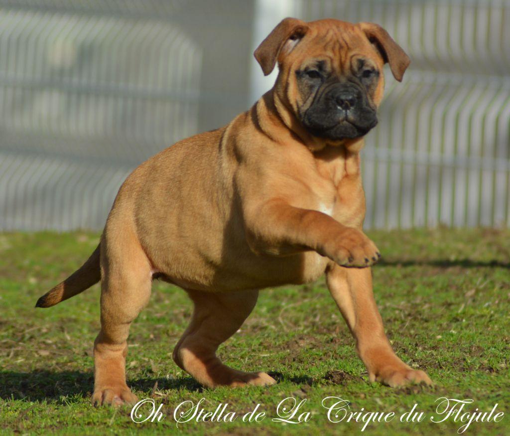 De la crique du Flojule - Chiot disponible  - Bullmastiff