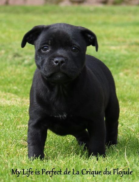 De la crique du Flojule - Chiot disponible  - Staffordshire Bull Terrier