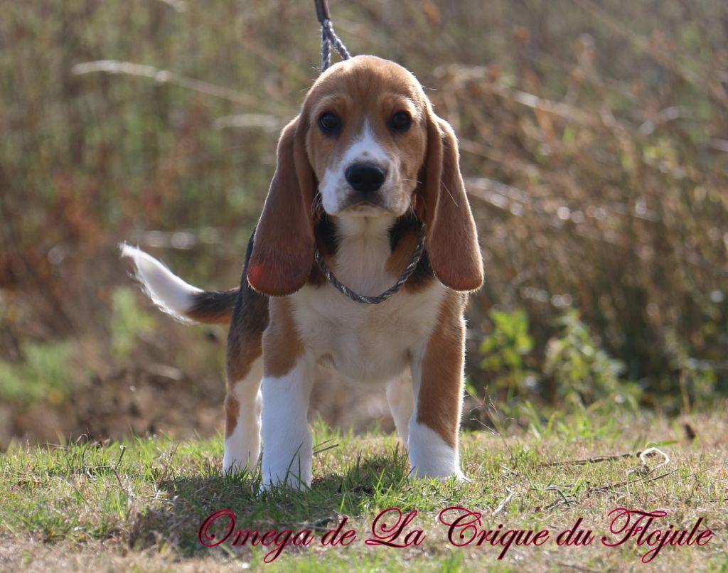 omega  - Beagle