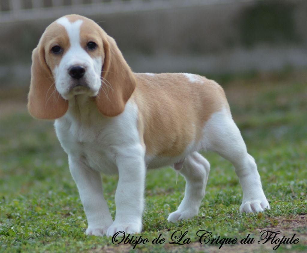 obispo - Beagle