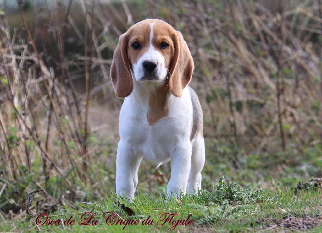 De la crique du Flojule - Chiot disponible  - Beagle