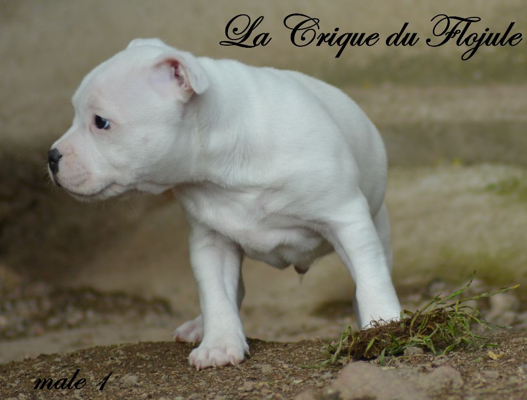 De la crique du Flojule - Chiot disponible  - Staffordshire Bull Terrier