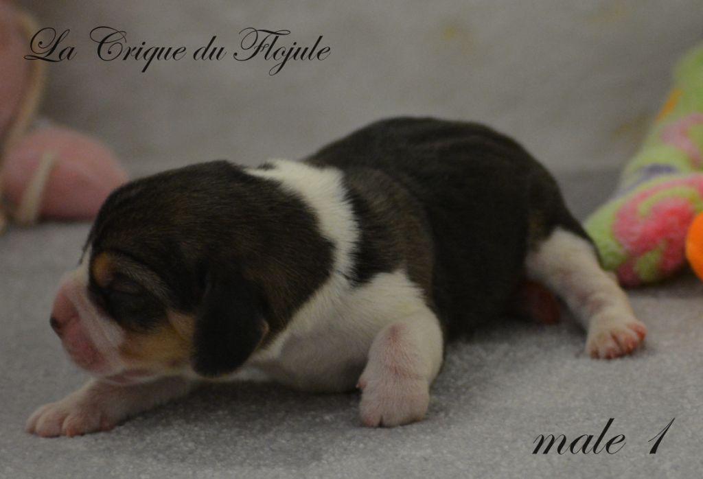 male 1 - Beagle