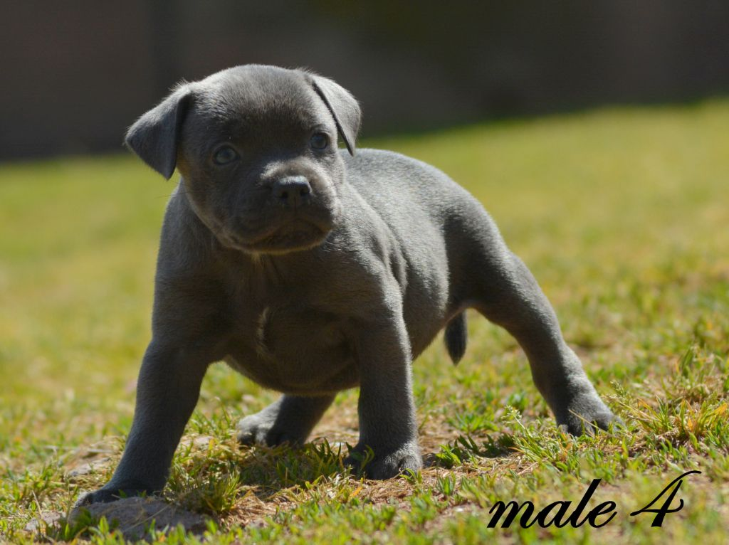 male 4 - Staffordshire Bull Terrier