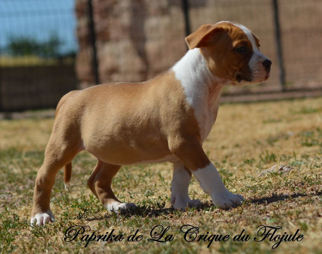 Paprika  - American Staffordshire Terrier