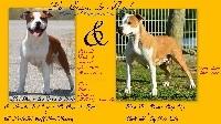American Staffordshire Terrier - De la crique du Flojule