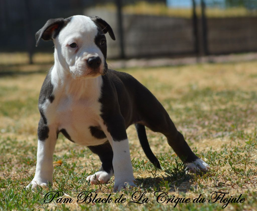 Pam Black  - American Staffordshire Terrier