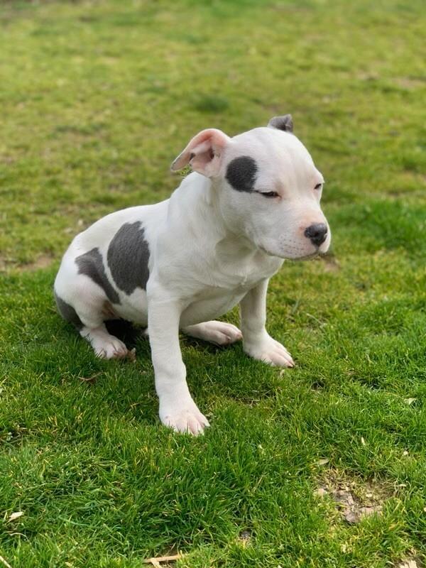 De la crique du Flojule - Chiot disponible  - American Staffordshire Terrier