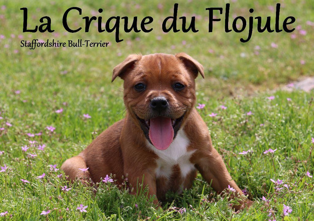 Accueil Elevage De La Crique Du Flojule Eleveur De Chiens