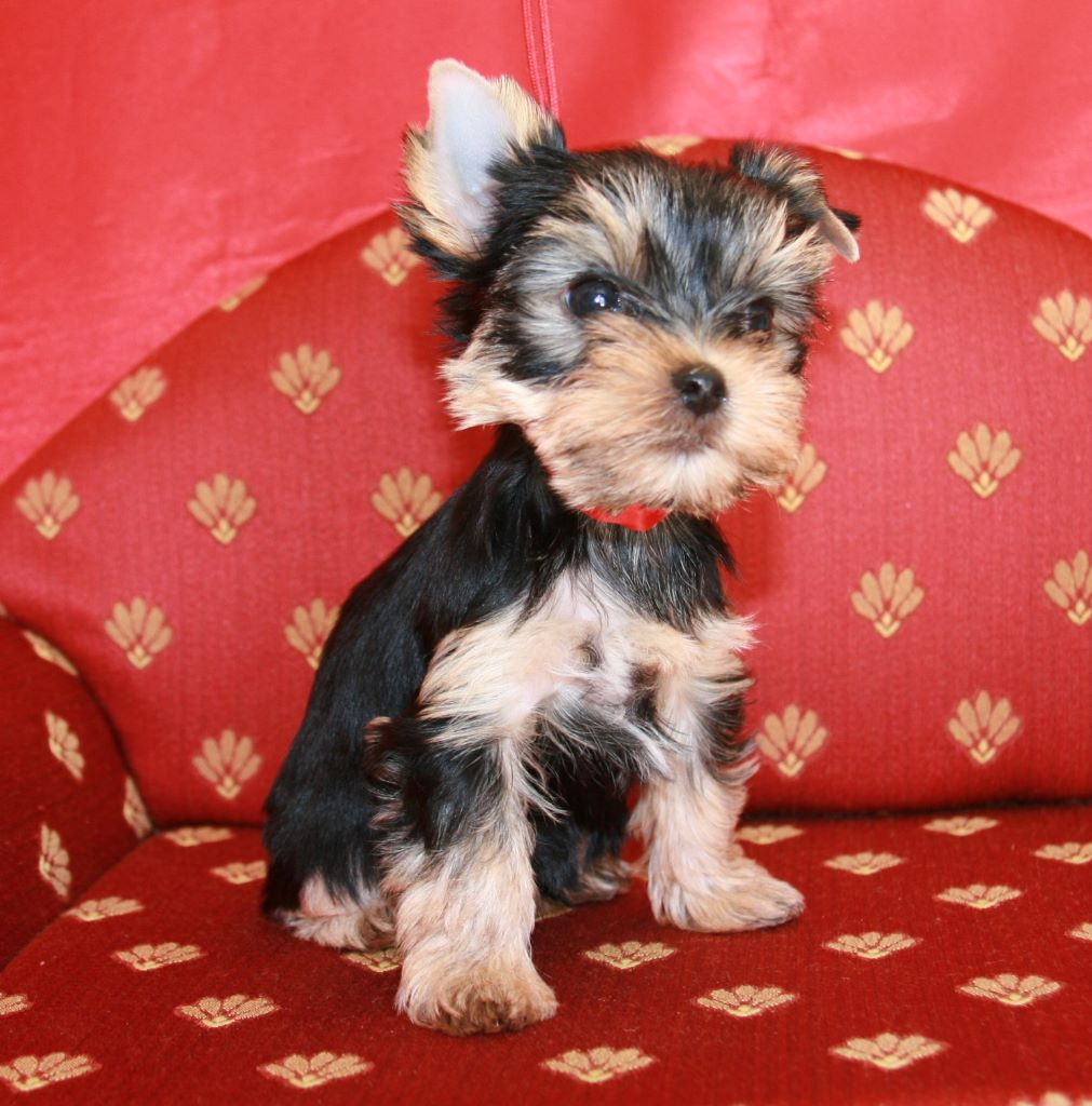 PATTY - Yorkshire Terrier