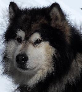 Elevage Des rives de l'ourse - eleveur de chiens Alaskan