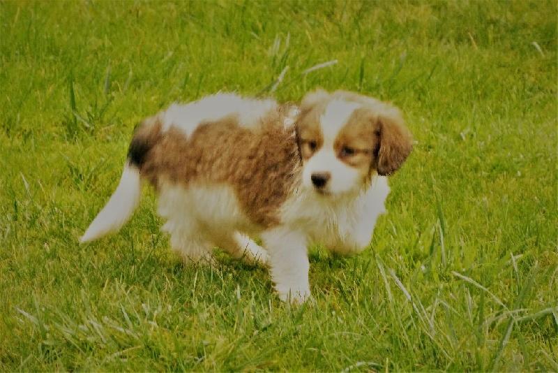 des Portes de l'Arrée - Chiot disponible  - Petit chien hollandais de chasse au gibier d'eau