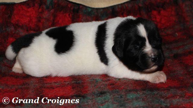 Du Domaine du Grand Croignes - Chiot disponible  - Terre-neuve