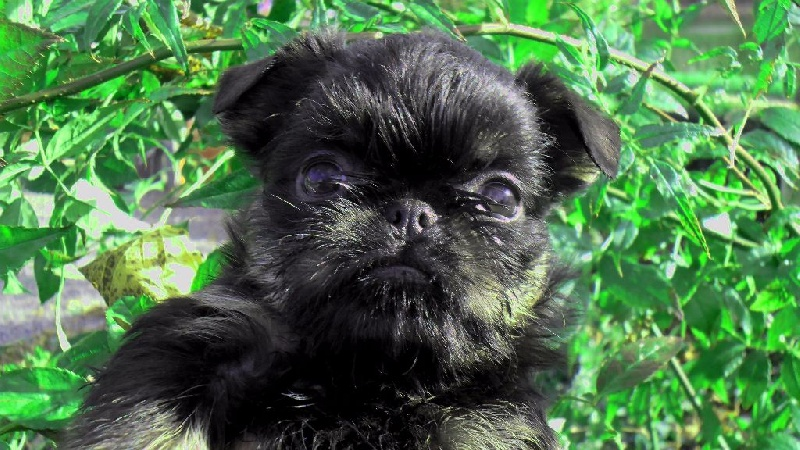 chiot Griffon bruxellois Torphan's Valley