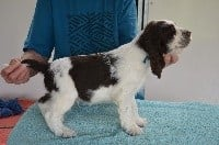 Chiots English Springer Spaniel