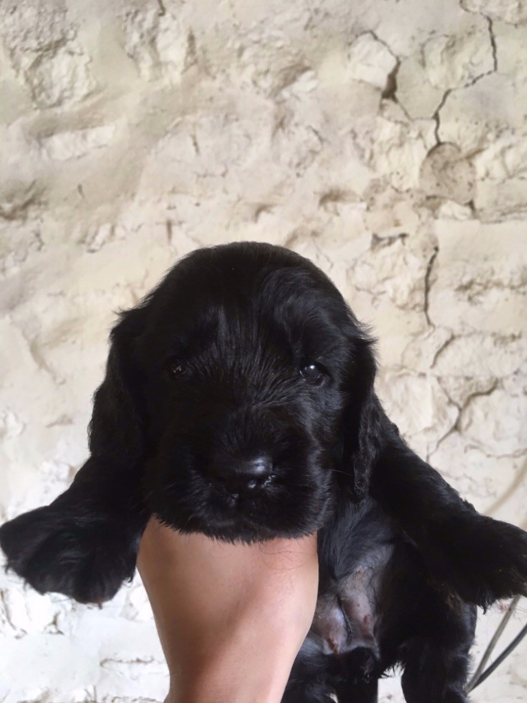 Weeping Willows - Chiot disponible  - Cocker Spaniel Anglais