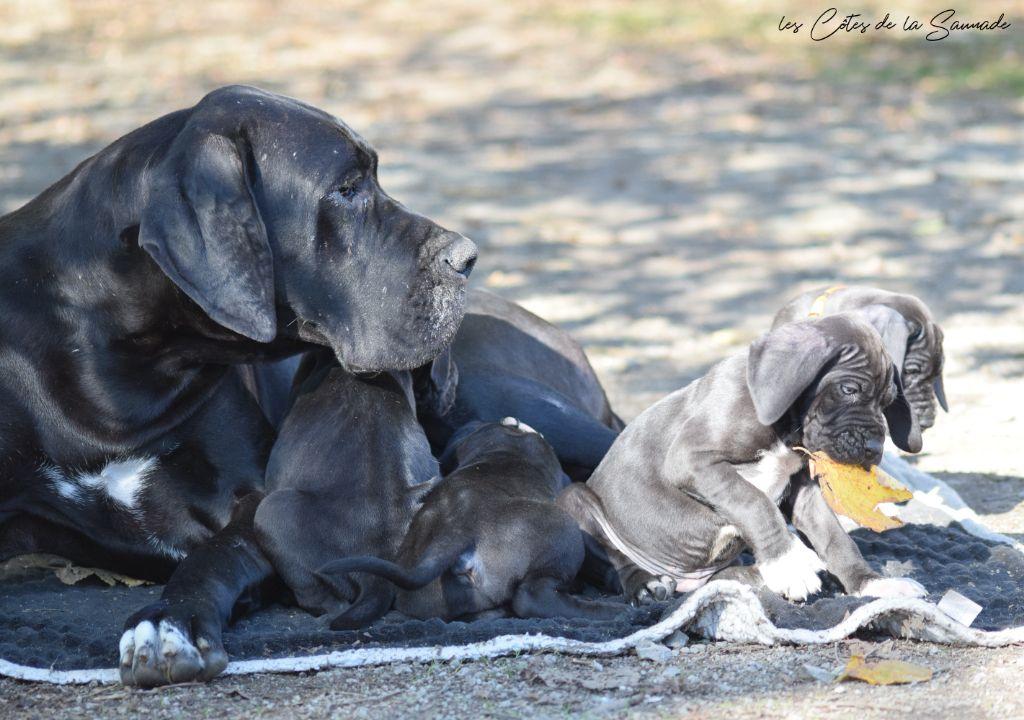 chiot Dogue allemand des Cotes de la Saunade