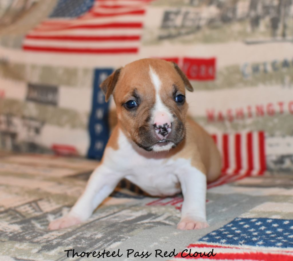 Male 6 - American Staffordshire Terrier