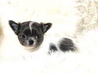 Chihuahua - Just Phantom