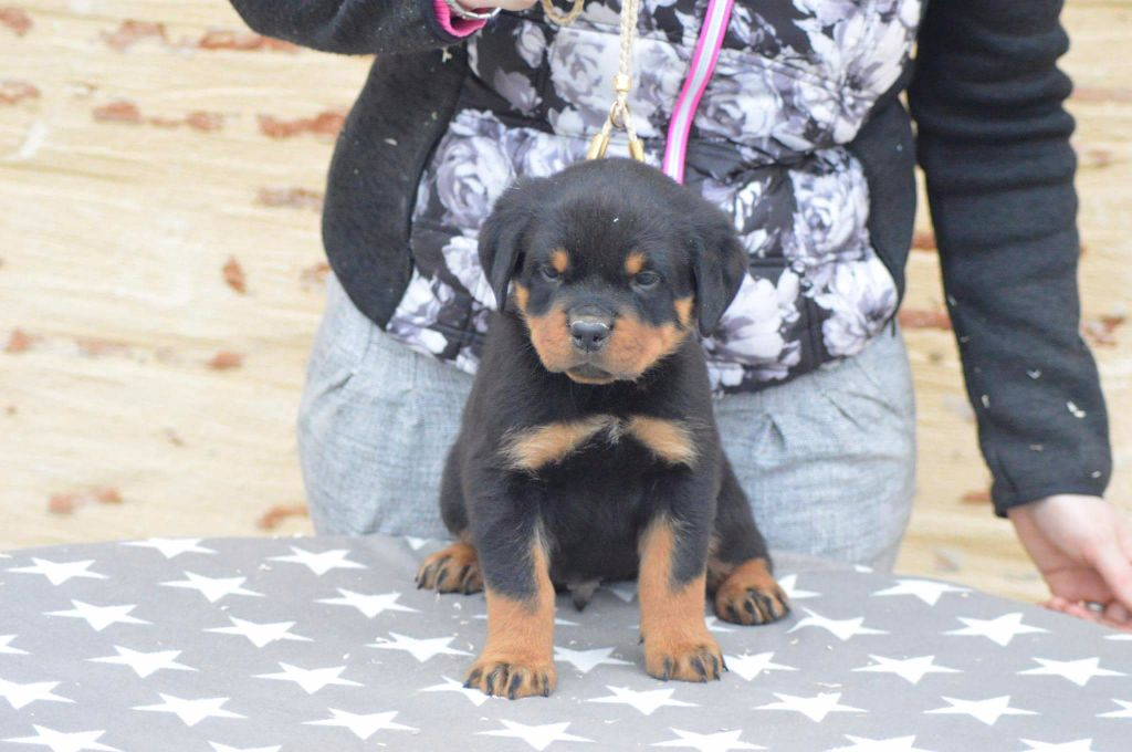 Of Legend Mysteria - Chiot disponible  - Rottweiler