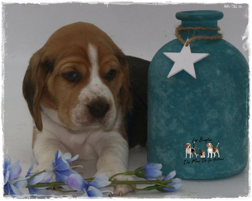 Du Mas De La Hillane - Chiot disponible  - Beagle