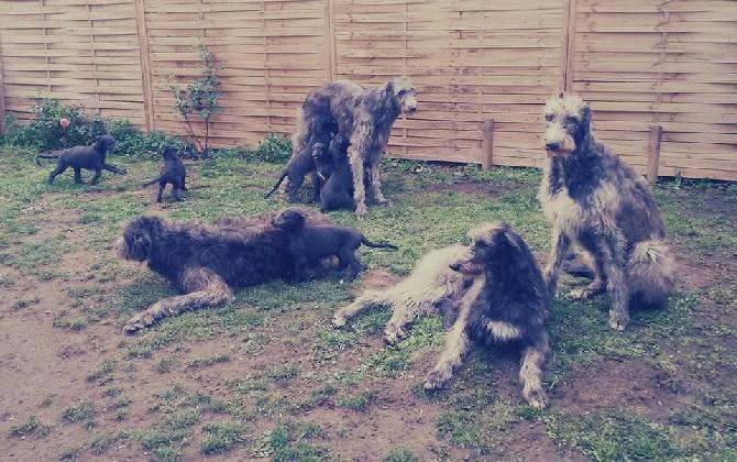 Antonius Vertragus - Our Deerhound family