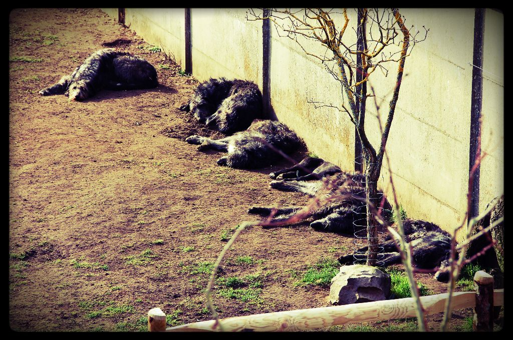 Antonius Vertragus - Bain de soleil pour la meute, le printemps arrive !