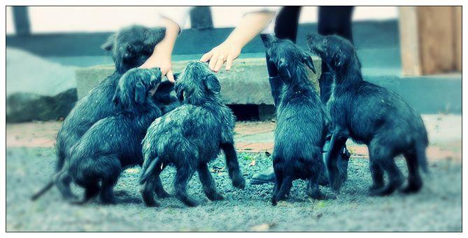 Antonius Vertragus - Portée prévue ! We will have puppies...