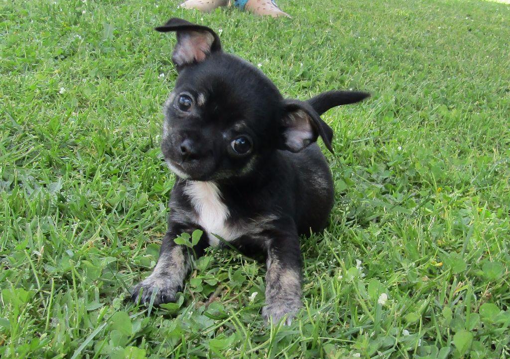 Chiot Chihuahua, CHIOT noir, mâle disponible en Nouvelle