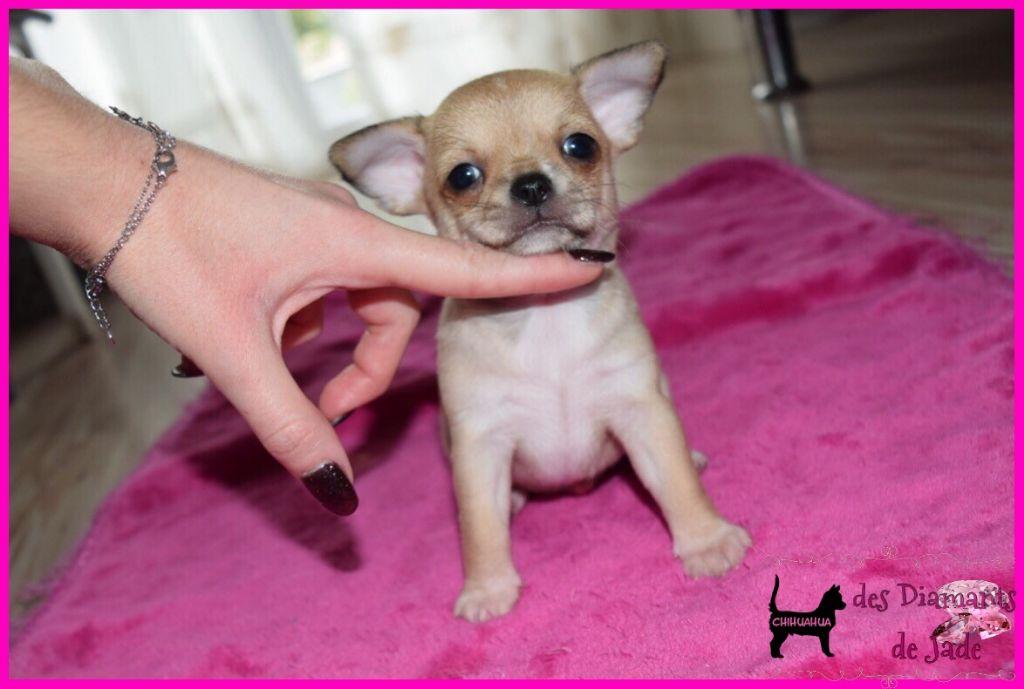 Des Diamants De Jade - Chiot disponible  - Chihuahua