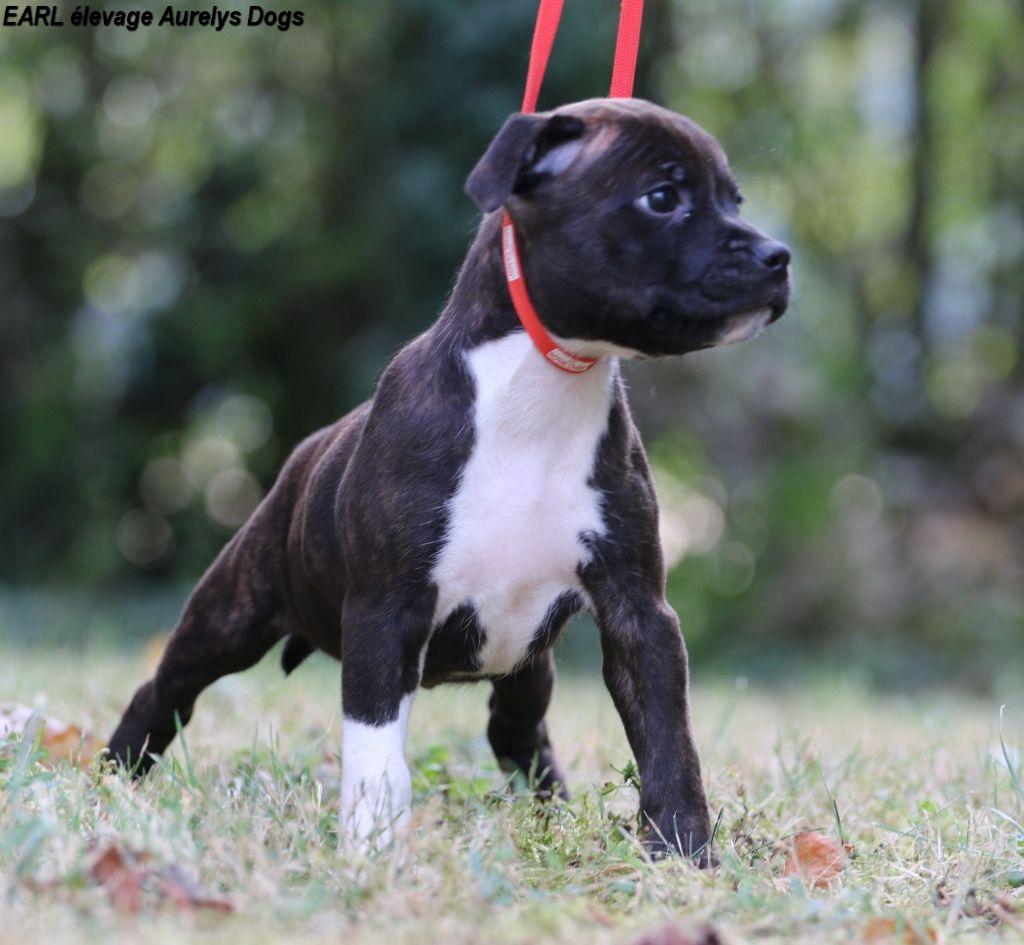 Femelle 2 - Staffordshire Bull Terrier