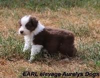 Berger Australien - Magnifiques chiots Berger Australien  - Aurely's Dogs