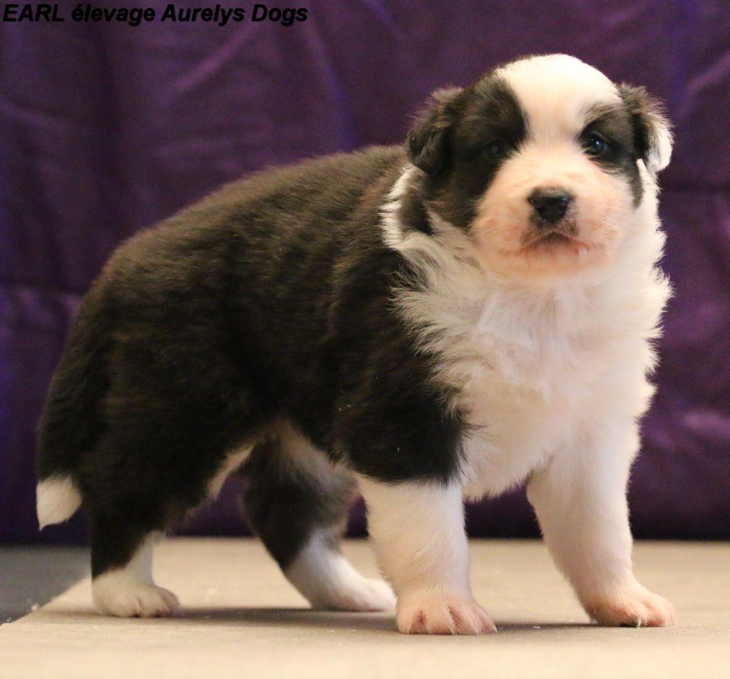 Aurely's Dogs - Chiot disponible  - Berger Australien