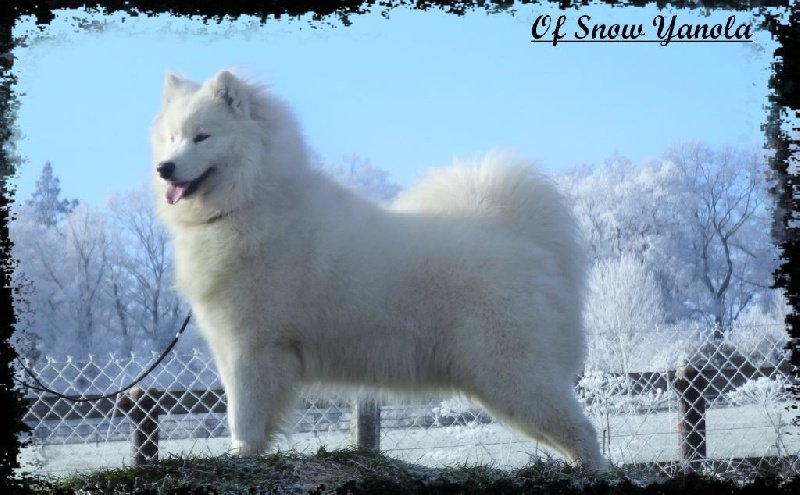 Publication : of Snow Yanola  Auteur : samoyedes of snow yanola