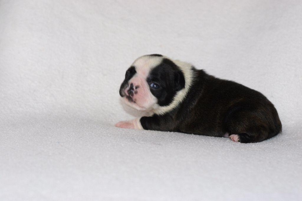 Boston Attitude - Chiot disponible  - Boston Terrier