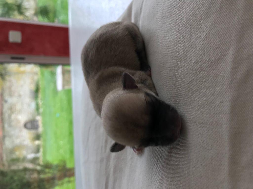D' Himalaya's Road - Chiot disponible  - Chihuahua
