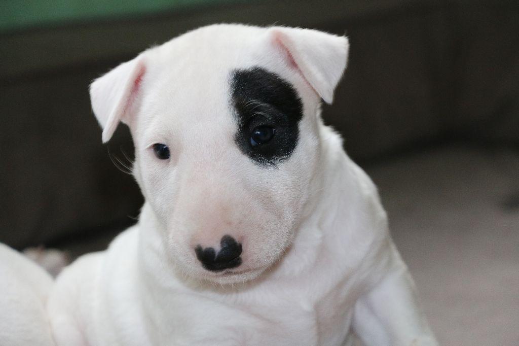 Of Tessa's Dream - Chiot disponible  - Bull Terrier