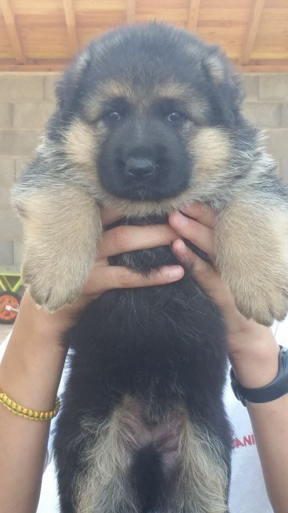 Vom Gletscher - Chiot disponible  - Berger allemand