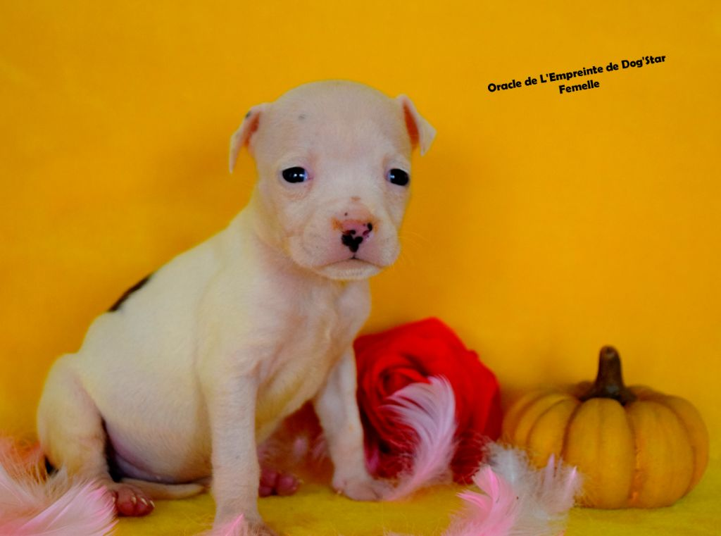 De L'Empreinte De Dog'star - Chiot disponible  - American Staffordshire Terrier