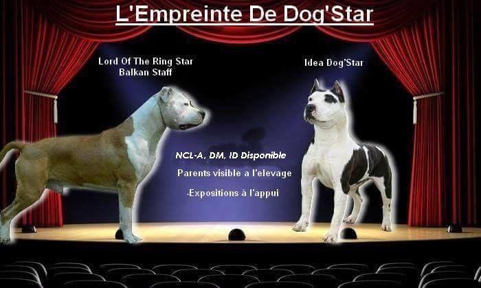 chiot American Staffordshire Terrier De L'Empreinte De Dog'star