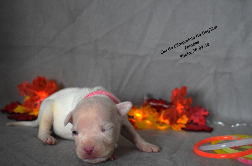 De L'Empreinte De Dog'star - Chiot disponible  - American Staffordshire Terrier
