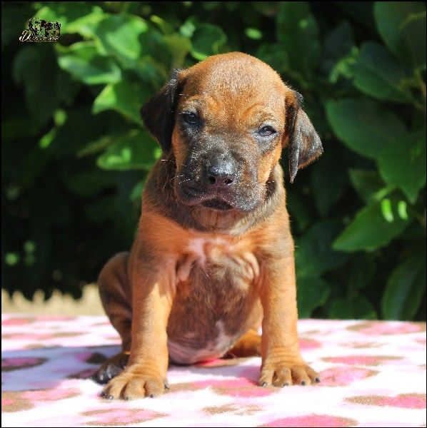 De Sol Del Norte - Chiot disponible  - Rhodesian Ridgeback