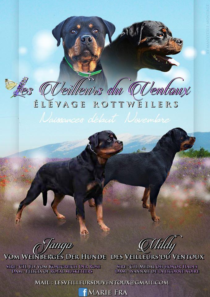 Des Veilleurs Du Ventoux - Chiot disponible  - Rottweiler