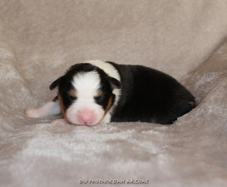 Du Phoenix D'an Argoat - Chiot disponible  - Berger Australien